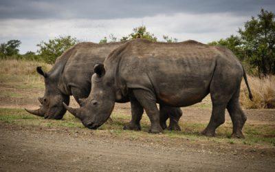 Devenez Un Rhinocéros – Les 5 obstacles de l'entrepreneur (partie 3)