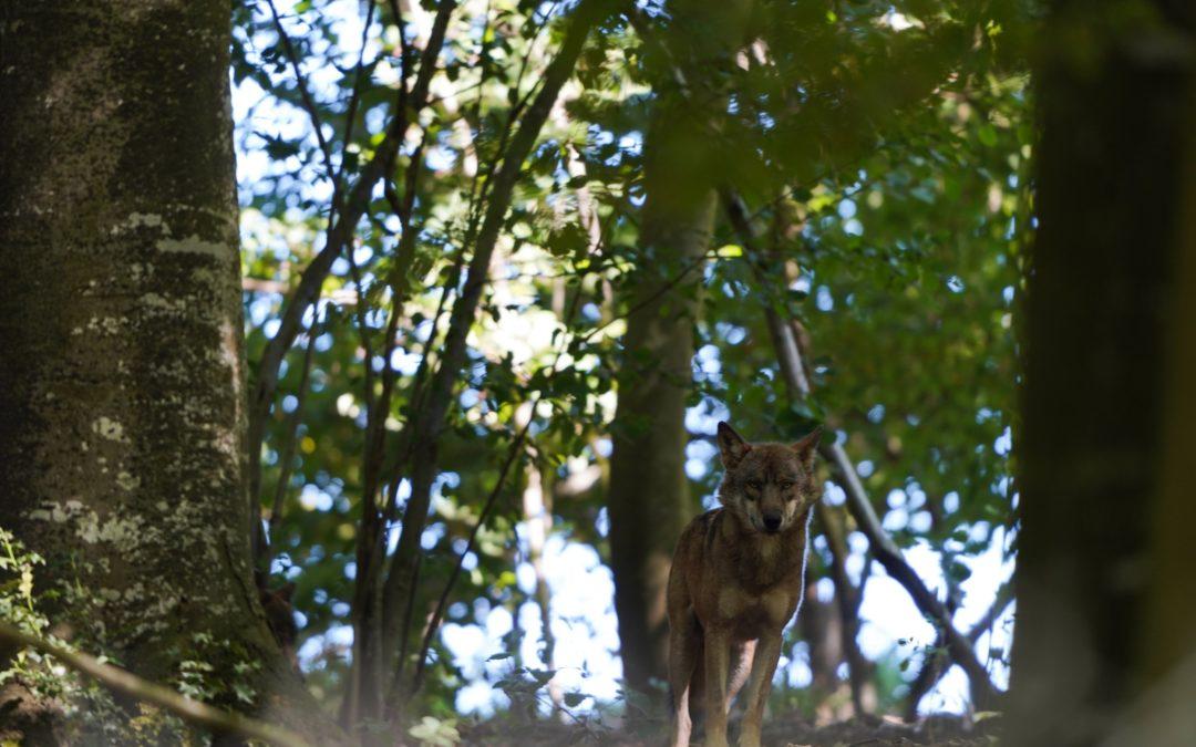 Loup. Gardien de la nature.
