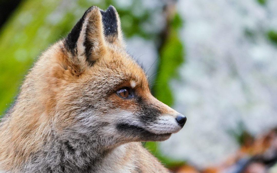 Rencontre inoubliable avec un renard