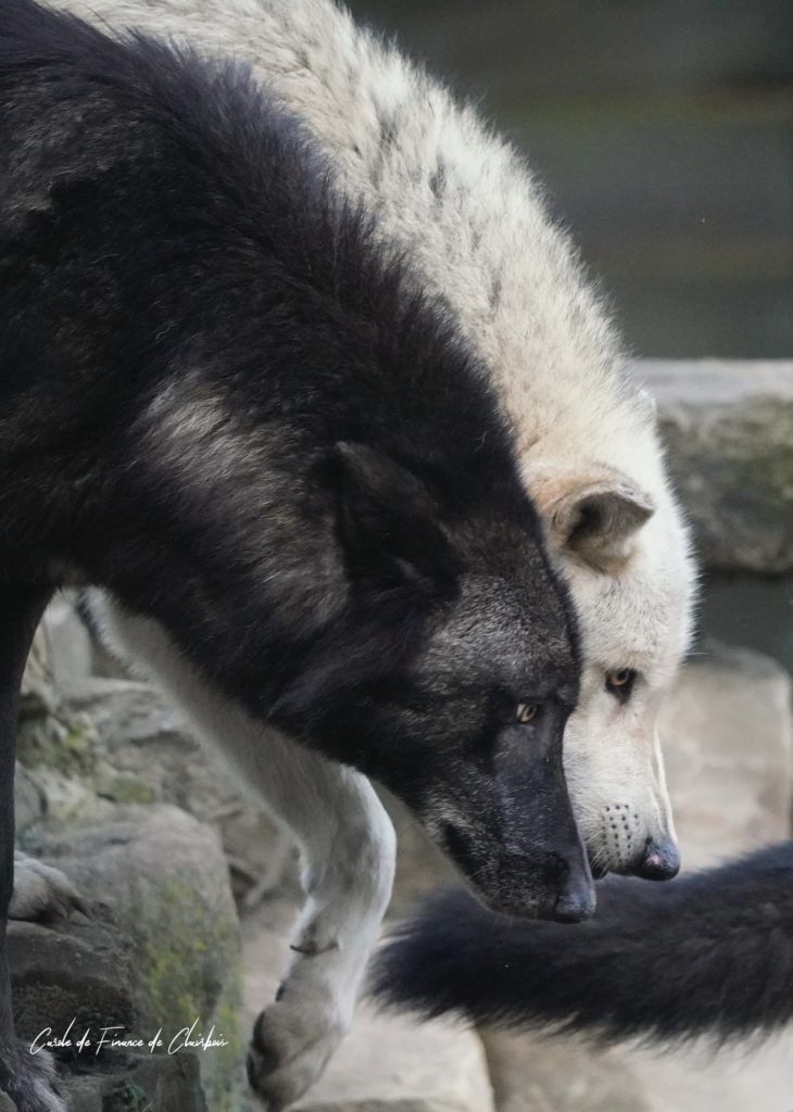 loups livre