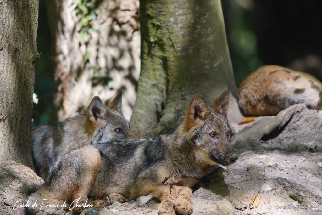 louveteaux loups livre